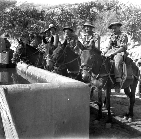 Pioneer platoon of the Royal Canadian Regiment watering their mules near Regalbuto, Italy, 4 August 1943.