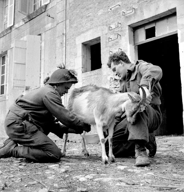 Private F.L. Galvert and Lance-Corporal Gooding of The Highland Light Infantry of Canada milking a goat, France, 20 June 1944.