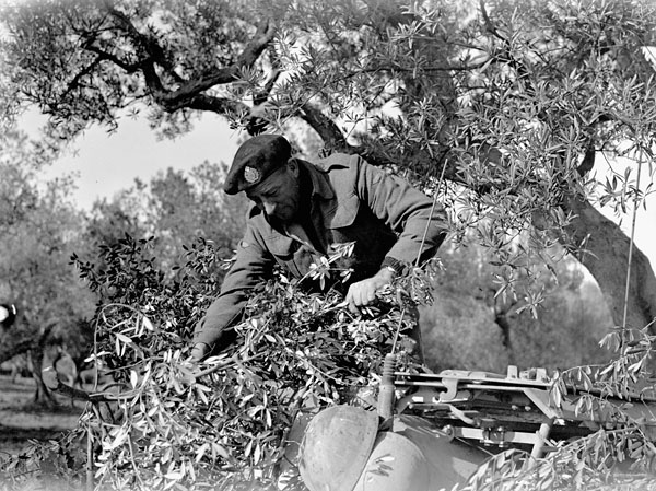 Sergeant F. Greenway camouflaging a truck with olive branches, 1 Canadian Army Tank Brigade Tactical Headquarters, near Treglio, Italy, 6 December 1943.