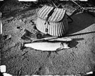 MIKAN 3359167 A 4 1/2 lb. trout. n.d. [A 4 1/2 lb. trout., n.d.]