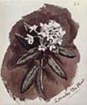 MIKAN 2896791 Thé du Labrador. 1861 [Thé du Labrador., 1861]