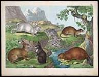 MIKAN 3025398 Rodents: hares, rabbit, muskrat and beaver  1860 ? [126 KB, 760 X 590]
