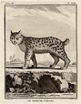 MIKAN 3028414 Le lynx de Canada  mid-18th century. [Le lynx de Canada, mid-18th century.]
