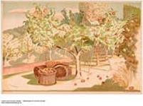 MIKAN 2845221 [untitled] :  picking apples in the Empire. 1926-1934. [[untitled] :, 1926-1934.]