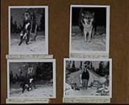 MIKAN 5311330 Views of huskies in camp ; Wm. Black stands in front of Ivan Playford's tent. 13-14 December 1950. [Views of huskies in camp ; Wm. Black stands in front of Ivan Playford's tent., 13-14 December 1950.]