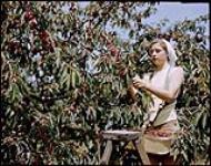 MIKAN 4311922 Jeanine Melrer of Hamilton, Ontario, picks white cherries on the Clarke farm at Vineland, Ontario.  1949. [318 KB, 1000 X 788]