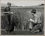 MIKAN 5301317 Percy Cordery (Left) and David Owen, fourth-year students at the University of Alberta, make notes on the growth of the grains at the Sub-station. 1949. [Percy Cordery (Left) and David Owen, fourth-year students at the University of Alberta, make notes on the growth of the grains at the Sub-station., 1949.]