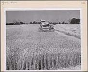 MIKAN 4314629 Wheat harvesting in Essex County is in full swing. On the farm of A. M. Aldrich, on the Maidstone Town Line, a combine operated by Roy Fairbairn, of Maidstone, shears its way through a field of the golden grain. [between 1930-1960] [Wheat harvesting in Essex County is in full swing. On the farm of A. M. Aldrich, on the Maidstone Town Line, a combine operated by Roy Fairbairn, of Maidstone, shears its way through a field of the golden grain., [between 1930-1960]]
